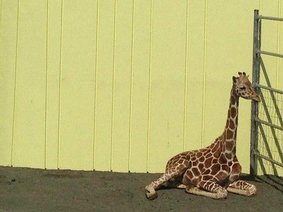 Kushiro City Zoo: キリン