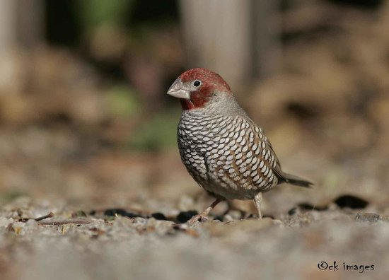 Bit O' Bush: a Red-headed Finch photographed on their garden