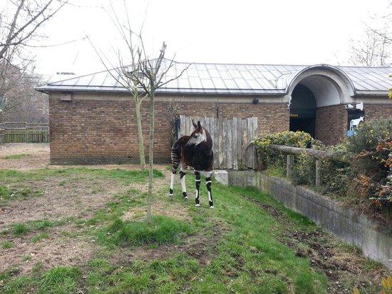 ZSL London Zoo : Recinto degli okapi