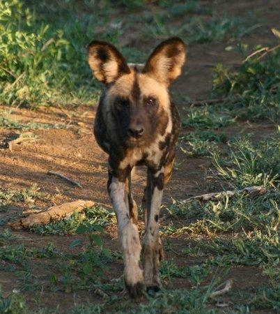 Madikwe Hills Private Game Lodge: wild dog