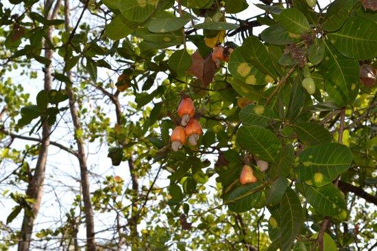 Nature's Nest : Cashew