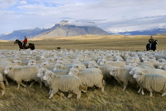 Sheep herding in Patagonia - Picture of Explora Patagonia - All Inclusive, Torres del Paine National Park - Tripadvisor