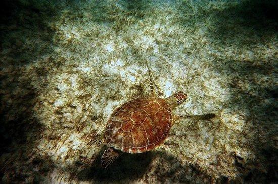 Grand Sirenis Riviera Maya Resort & Spa: turtle