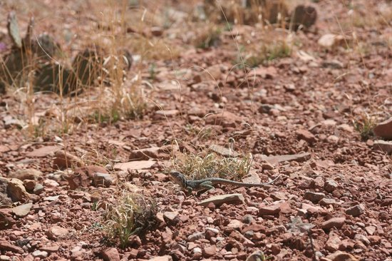 New Mexico Jeep Tours: Spotted a lizard while looking for wild horses