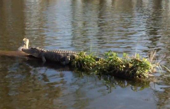 Champagne's Cajun Swamp Tours: Large Alligator Sunning on Log