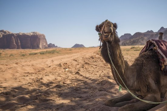 Wadi Rum Travel Camp: Another from the camel ride, these creatures are great!