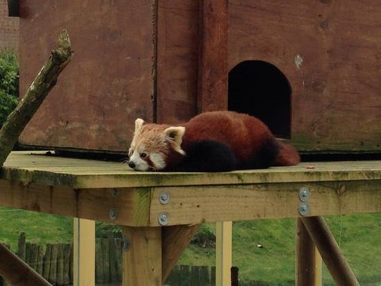 Longleat: Red Panda