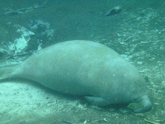 Bird's Underwater: Shhh...sleeping manatee!