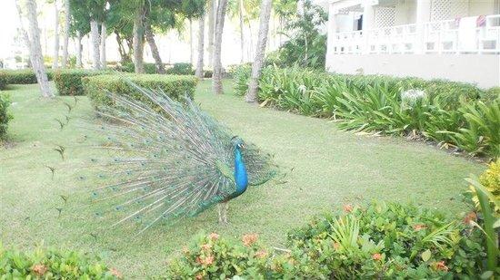 Vista Sol Punta Cana: resident peacock