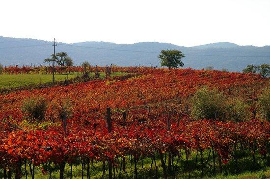 Domacija Sajna: vineyards of 'teran' in september
