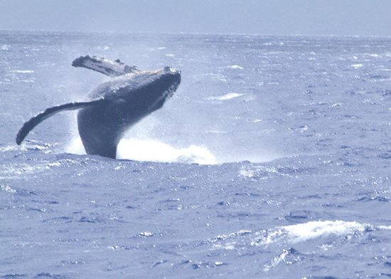 Pacific Whale Foundation: Humpback whale breach viewed from PWF boat, late March 2014