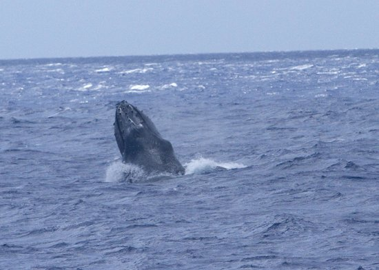 Pacific Whale Foundation: Humpback whale spy hop viewed from PWF boat, late March 2014
