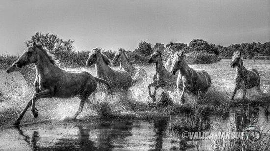 Camargue Sauvage safari 4x4 : une échappé sauvage de juments en plein cœur des marais