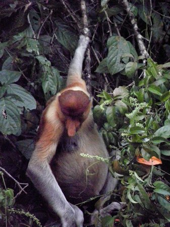 Sukau Rainforest Lodge: A male Proboscis Monkey near our boat