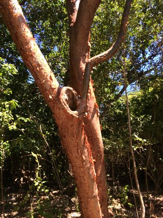 Hugh Taylor Birch State Park : red bark tree a name i forget what it is