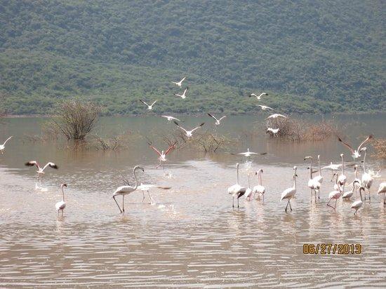 A small group of flamingos at Lake Bogoria