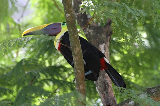 Cabinas Jimenez: Toucans call at Puerto Jiminez