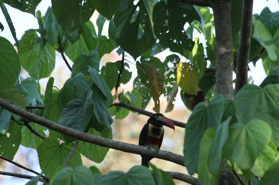 Cabinas Jimenez: Feiry billed Aracari in Puerto Jiminez