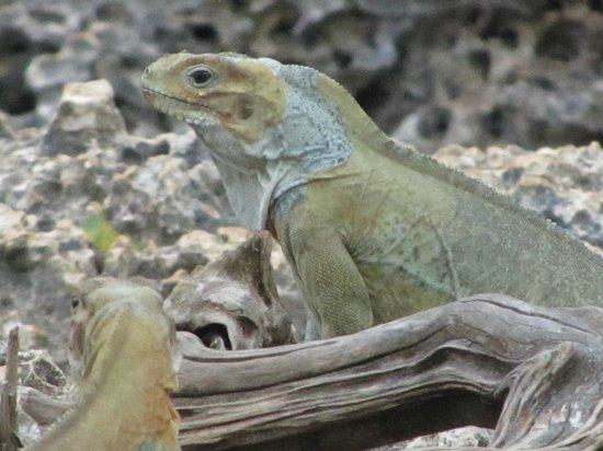 Cueva de las Maravillas : Iguana farm