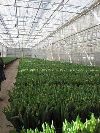 Slootdorp, Países Bajos: Greenhouse full of tulips!