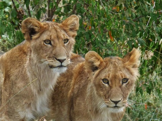 Saruni Mara: Cubs on Hill with Us