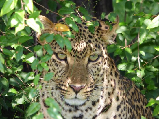 Saruni Mara: Leopard Close to Us