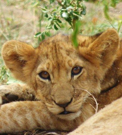 Saruni Mara: Cub on Hill Up Close