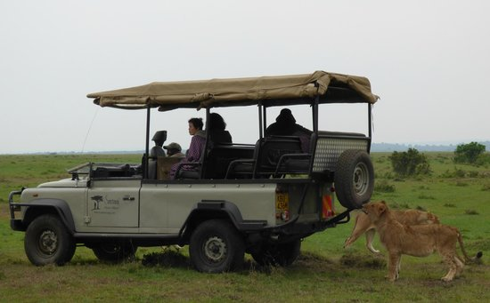 Saruni Mara: Lions Around a Saruni Vehicle