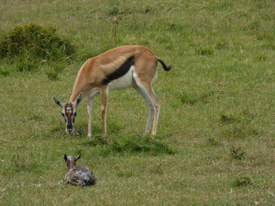 Saruni Mara: Mama gazelle with newborn