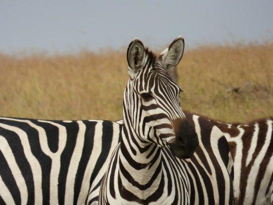 Saruni Mara: Zebras