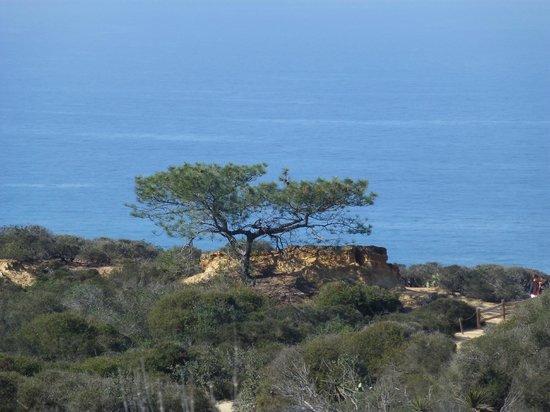 Torrey Pines State Natural Reserve: Torrey Pine