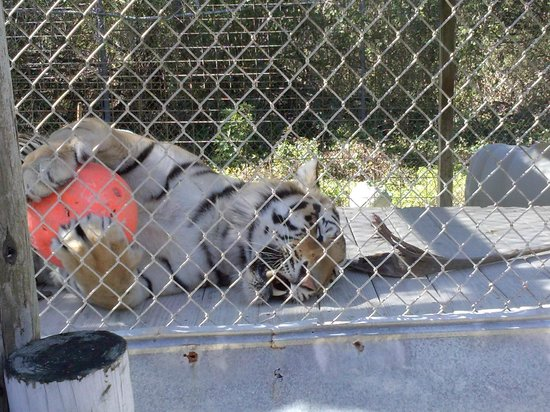 Octagon Wildlife Sanctuary And Rehabilitation Center: playful tiger with his ball