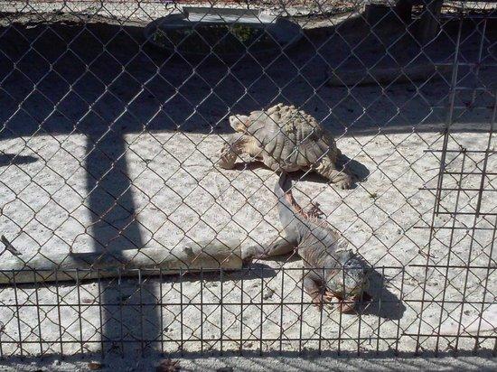 Octagon Wildlife Sanctuary And Rehabilitation Center: turtles and iguanas too