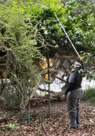 Mildred Mathias Botanical Gardens : Volunteers trim trees and clean the grounds daily