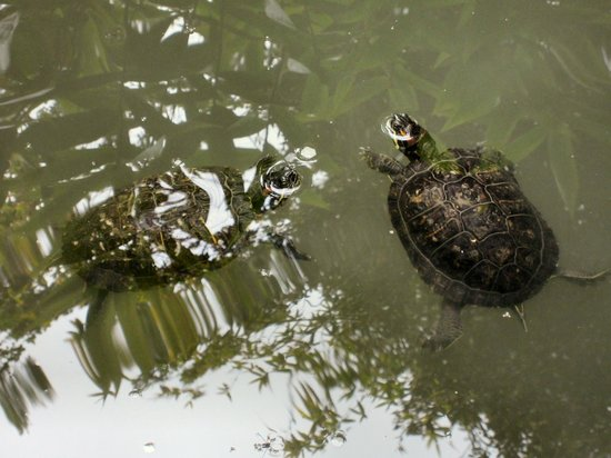 Mildred Mathias Botanical Gardens : Turtles sun themselves in the garden stream