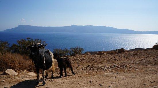 Balos Beach and Lagoon : Goats are everywhere