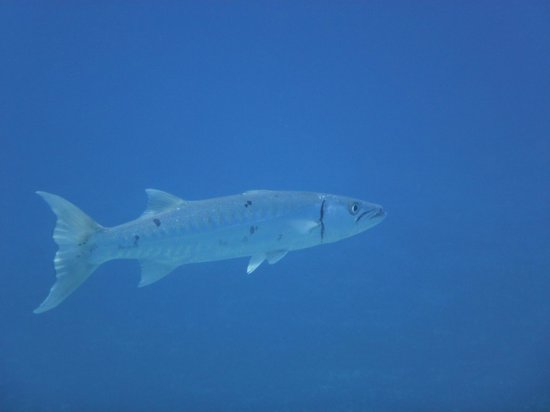 We B Divin' Cozumel: And Barracuda