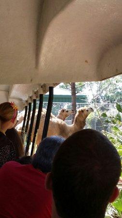 Brevard Zoo : Camels