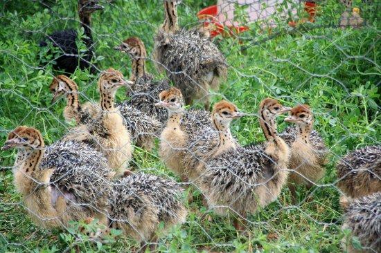 Safari Ostrich Show Farm: Baby ostrich