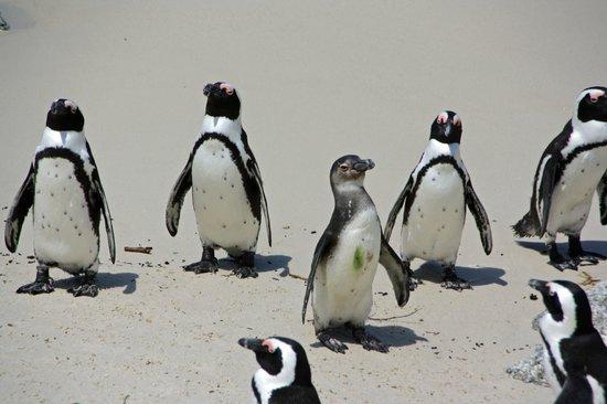 Boulders Beach: Penguins on the beach