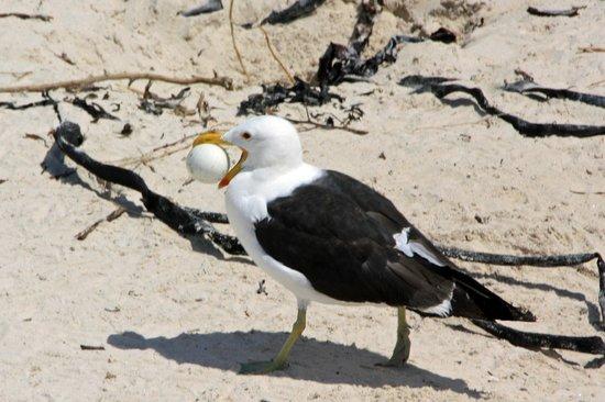 Simon's Town, South Africa: Gull stealing a penguin egg