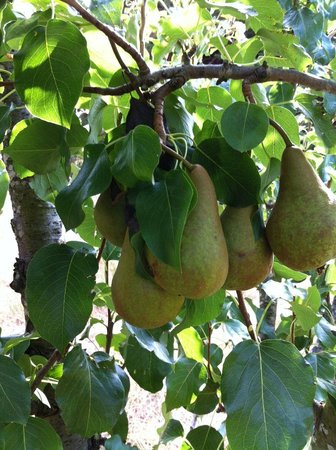 Stanton Bed and Breakfast: Our pears