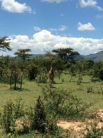 Cottar's 1920s Camp & Bush Villa: baby giraffe