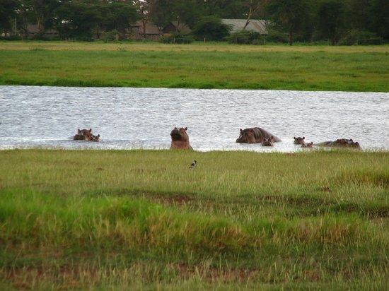 Amboseli National Park: бегемотики