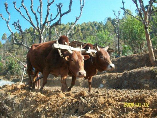 Eco Homestay: Ox plowing field