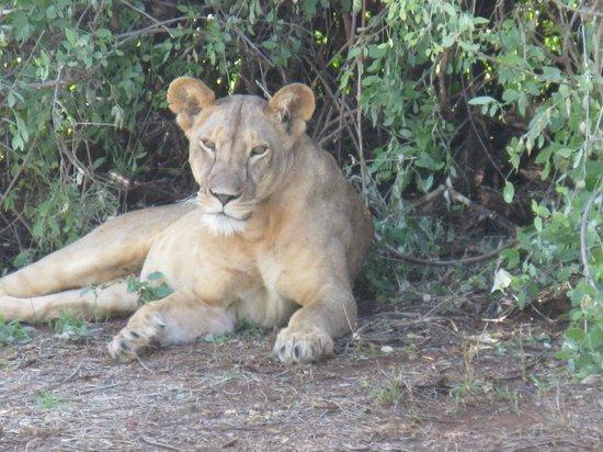 Elephant Bedroom Camp: Samburu Reserve - Lioness