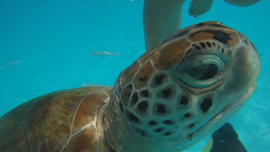 Cool Runnings Catamaran Cruises: Swimming with turtles!