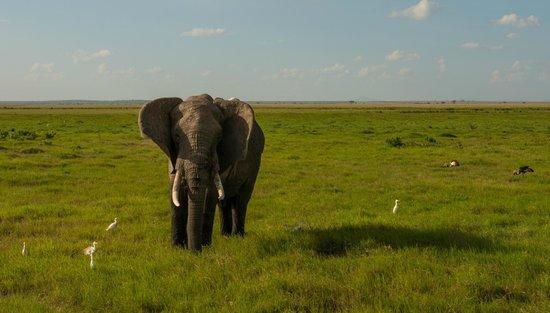 Amboseli National Park: Одинокий слон