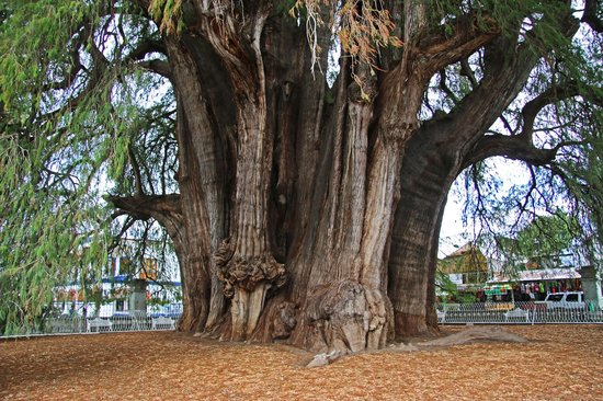 El Tule Tree of Life, Teotitlan Village, and Mitla Ruins Tour: Big and old