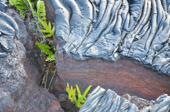 Ma'ukele Lodge: ferns growing in the recent lava flow